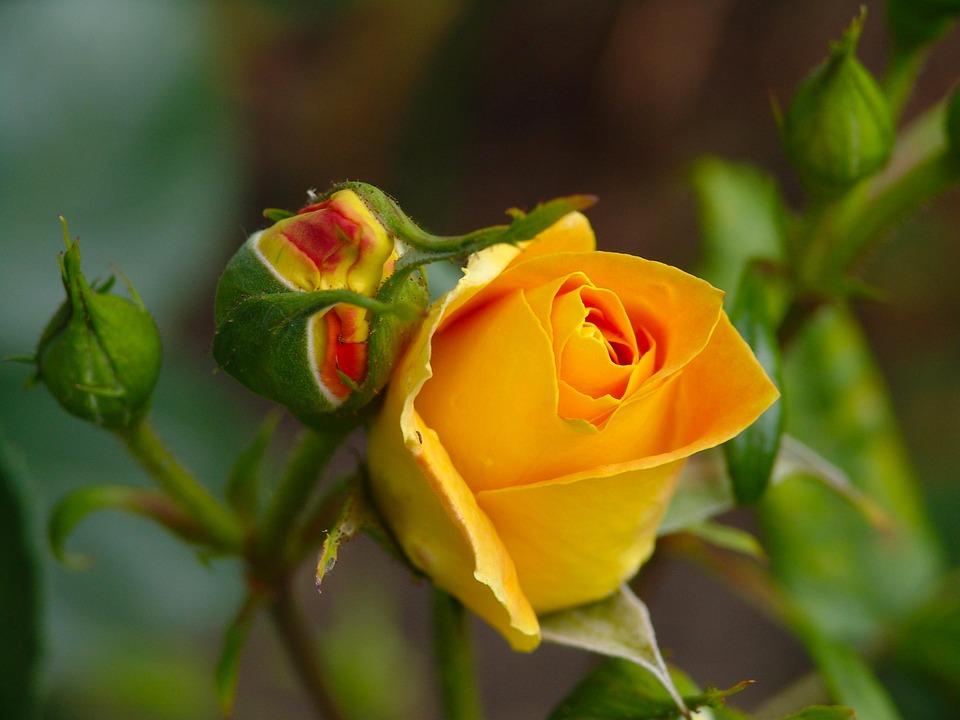 Rose, Nature, Blossom, Bloom, Yellow Rose, Garden Rose