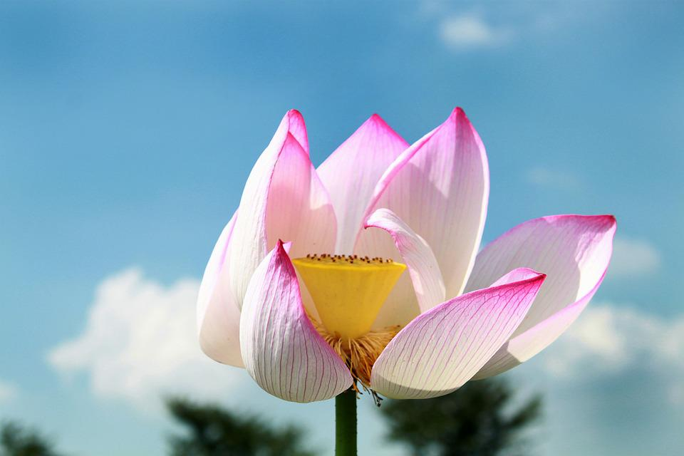 Lotus, Flower, Pink, Bloom, Plant, Blossom, Nature