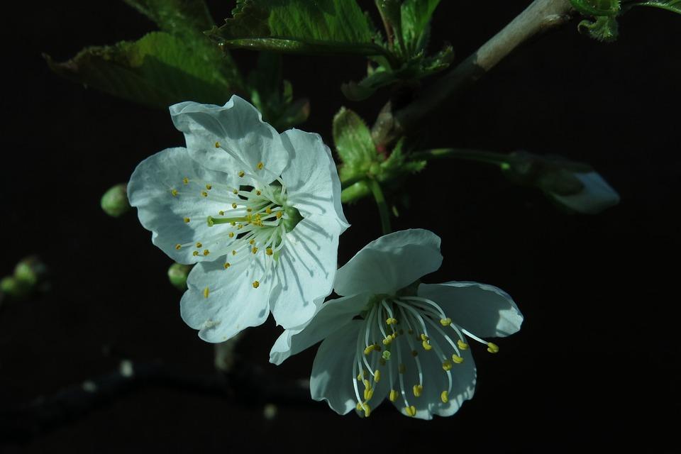 Blossom, Bloom, Cherry Blossom, Plant, Nature, Tree