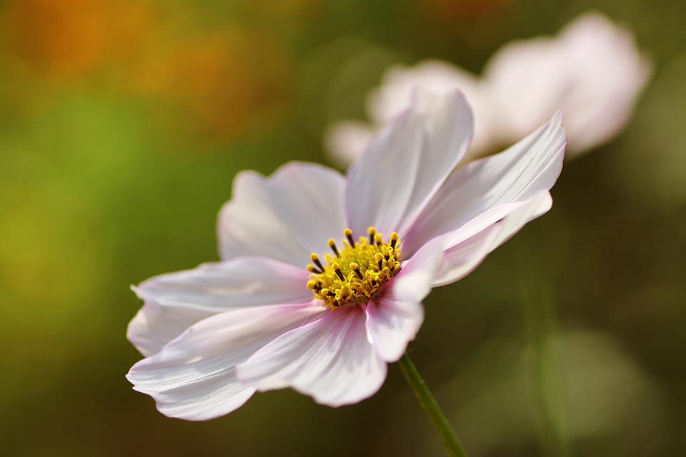 Cosmea, Flower, Plant, Nature, Blossom, Bloom, Cosmos