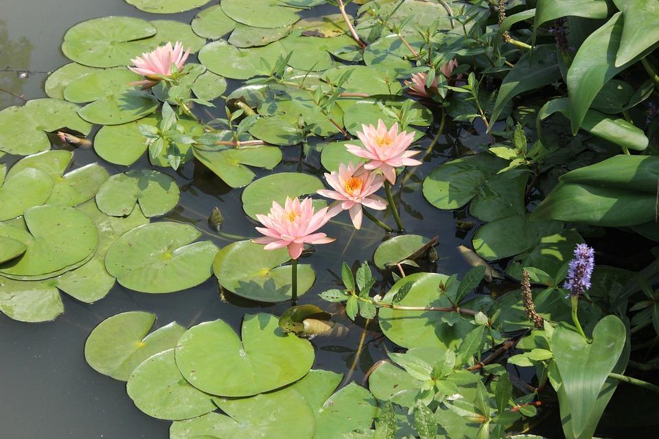 Pond, Flower, Plant, Leaf, Garden, Nature, Bloom, Lotus