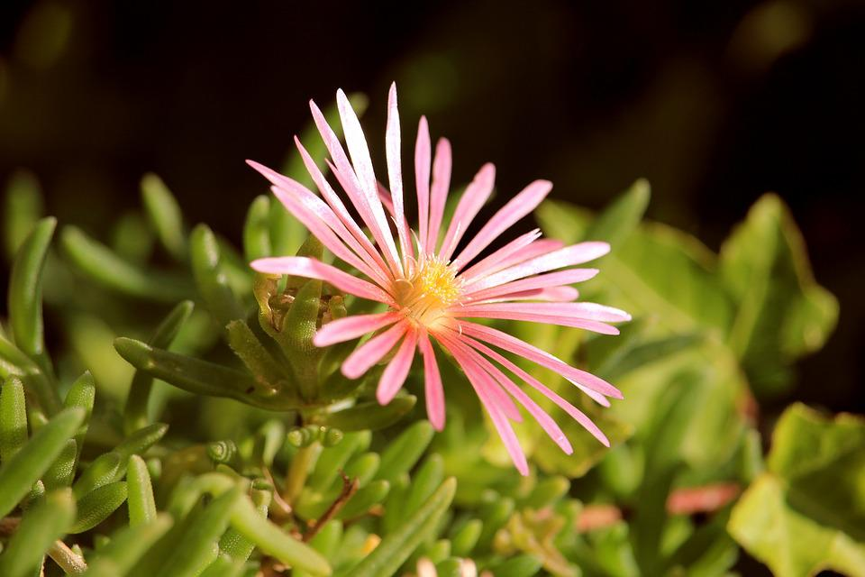 Ice Plant, Salmon, Flower, Blossom, Bloom, Nature