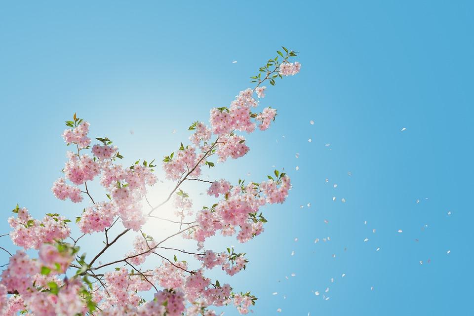 Bloom, Blossom, Flora, Flowers, Nature, Plant, Sky