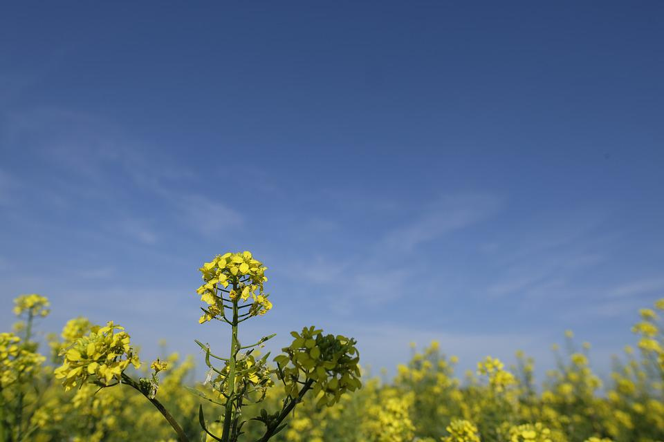 Oilseed Rape, Flower, Blossom, Bloom, Field