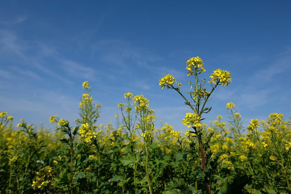 Oilseed Rape, Flower, Blossom, Bloom, Field