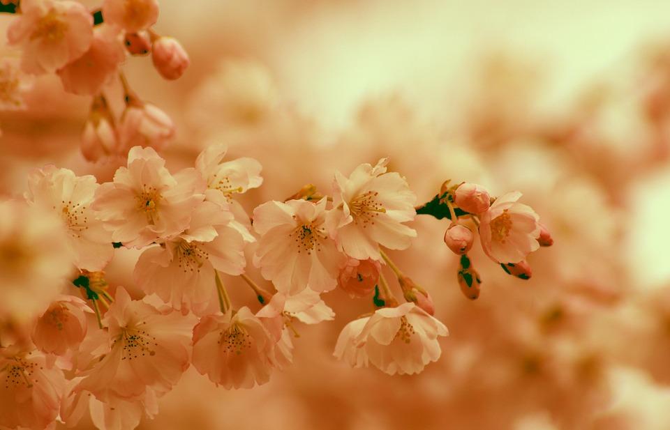 Cherry Blossom, Spring, Bloom, Pink, Orange, Sun