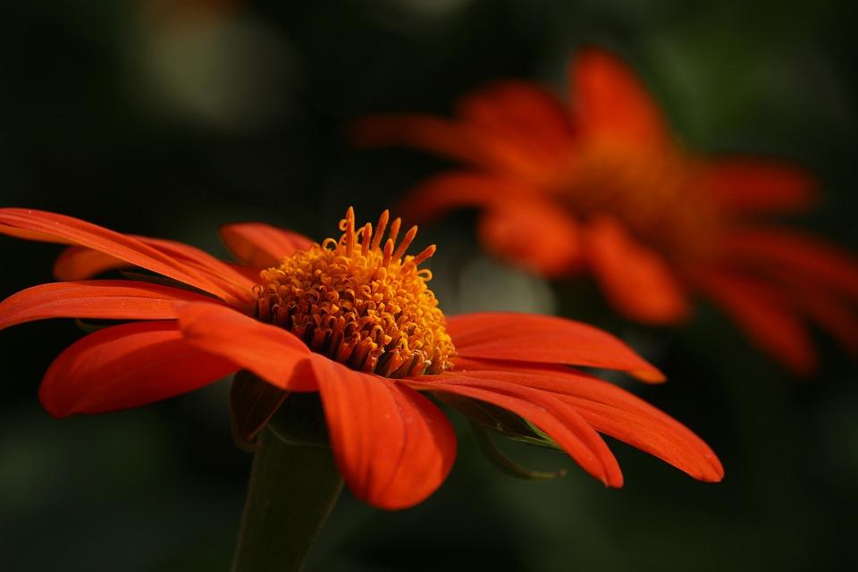 Orange Flower, Flower, Petals, Bloom, Blossom