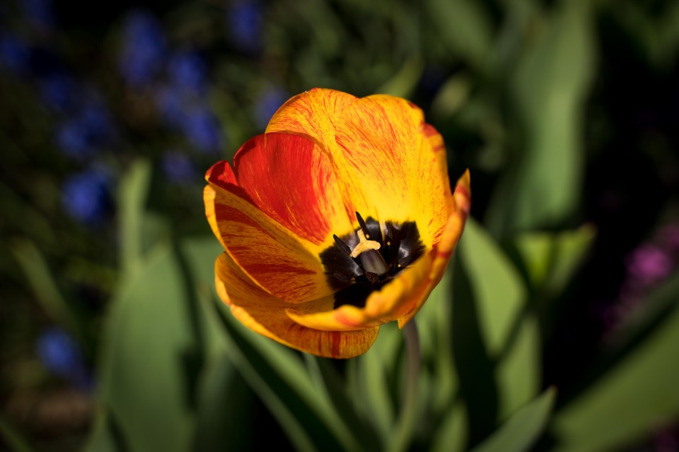 Tulips, Tulip Flower, Bloom, Flowers, Orange, Red