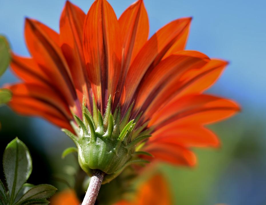 Gazania, Flower, Bloom, Petals, Orange, Colorful
