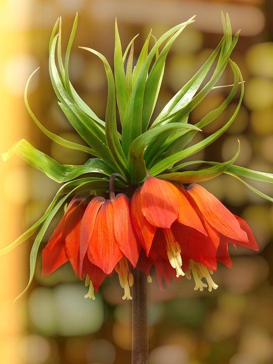 Imperial Crown, Flower, Blossom, Bloom, Orange, Plant