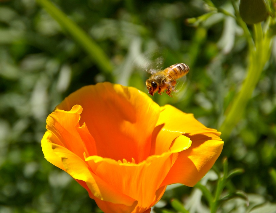 Flower, Bee, Orange, Bloom, Poppy, Flying, Buzzing