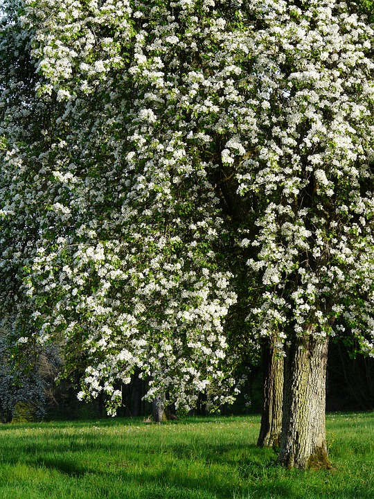 Pear, Pear Blossom, Blossom, Bloom, Orchard, Bloom