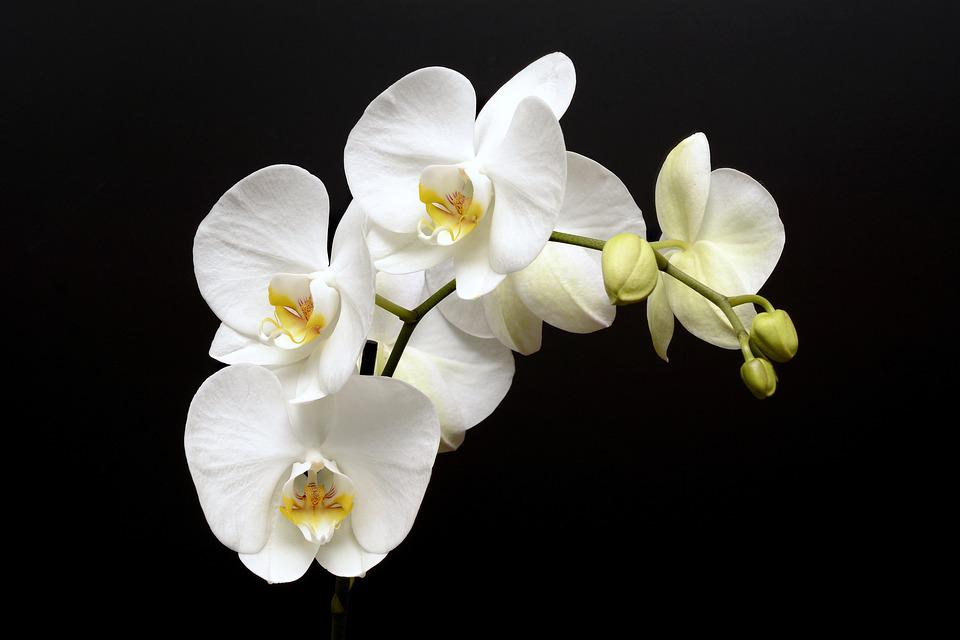 Free photo Bloom Orchid Flower White Tropical Bud Blossom - Max Pixel