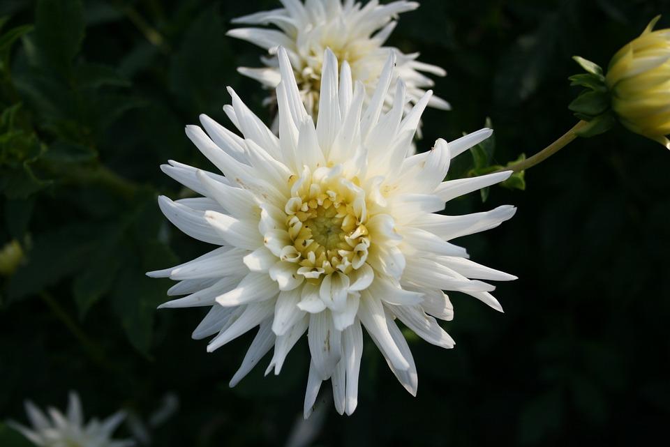 Flower, Nature, Plant, Dahlia, Ornamental Plant, Bloom