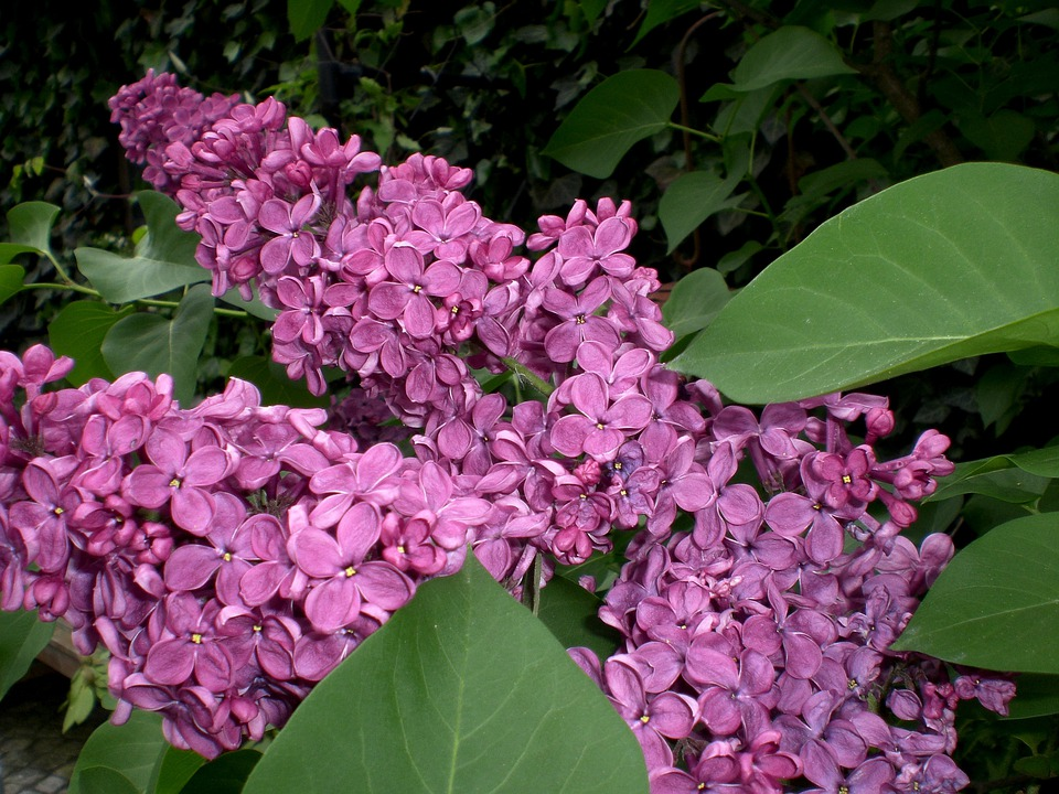 Lilac, Ornamental Shrub, Blossom, Bloom, Flower, Bloom