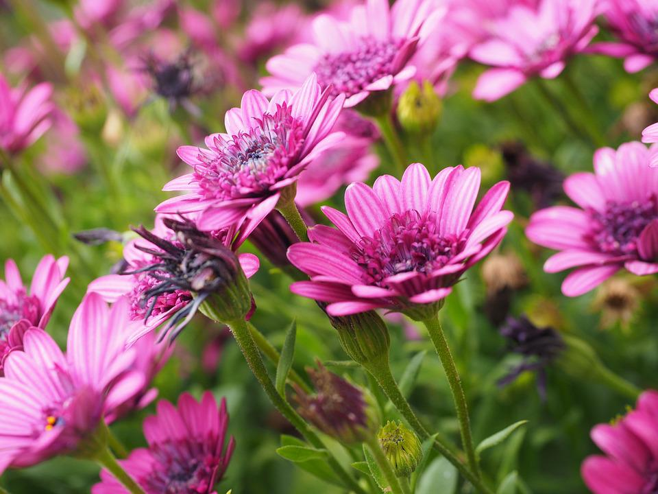 Cape Basket, Blossom, Bloom, Flower, Pink, Osteospermum