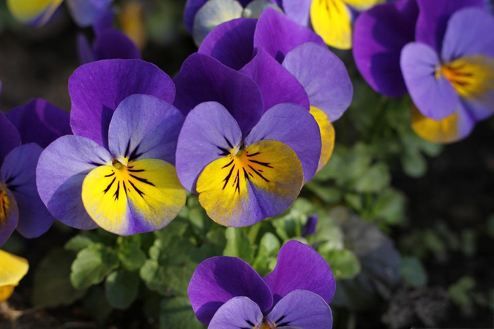 Pansy, Flower, Blossom, Bloom, Violet, Yellow