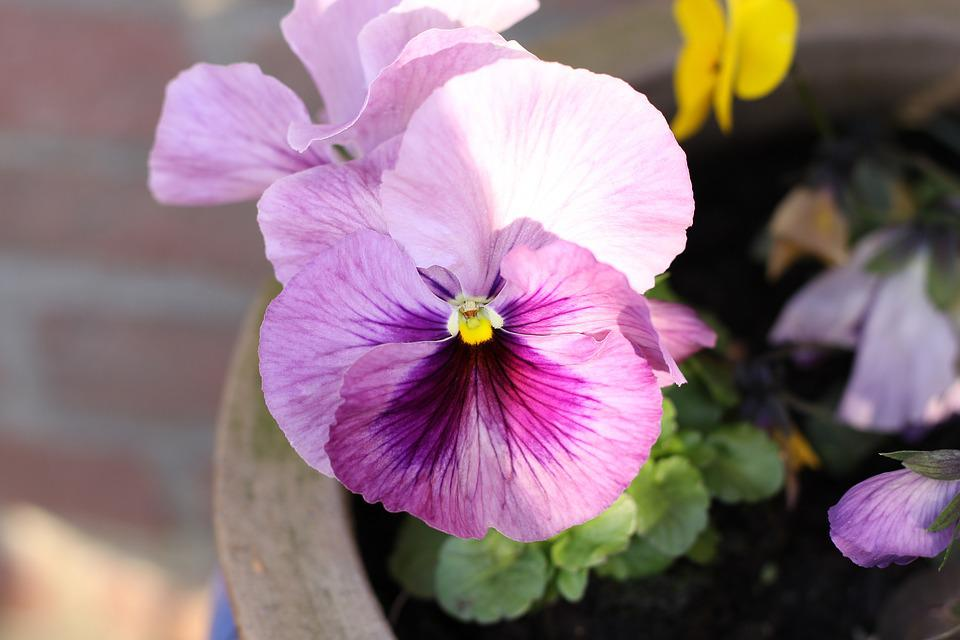 Pansy, Flower, Blossom, Bloom, Pink
