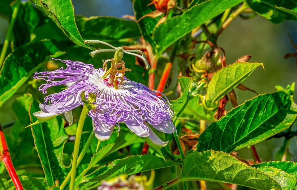 Passion Flower, Passiflora, Flower, Blossom, Bloom