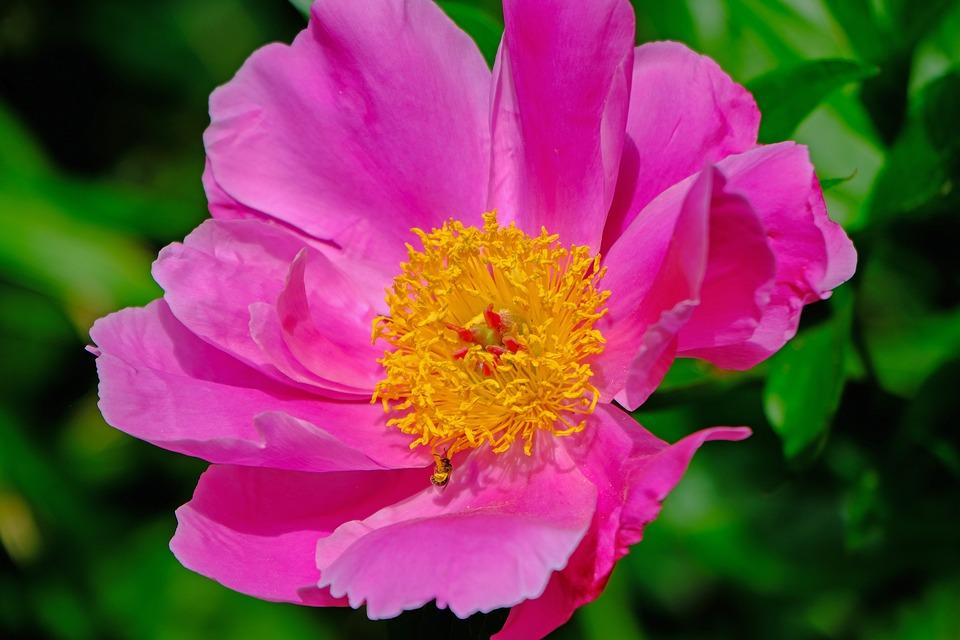 Flower, Nature, Peony, Blossom, Bloom, Pink, Garden