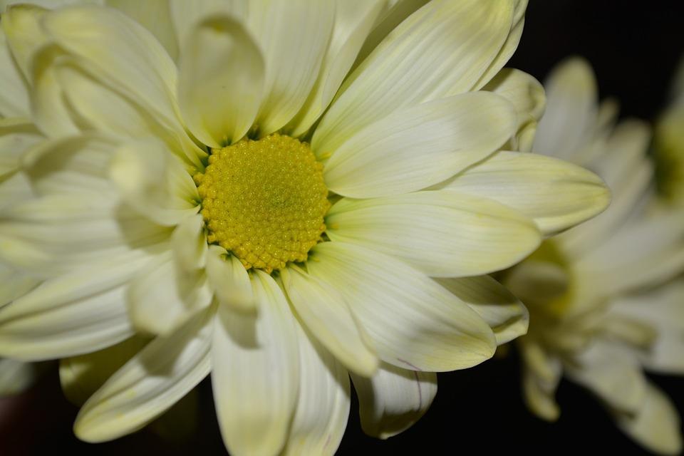 Daisy, Flower, Petal, Petals, Bloom, Blooming, Fresh
