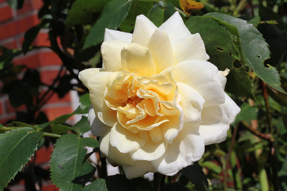 Flower, Rose, Blossom, Bloom, White Yellow, Petals