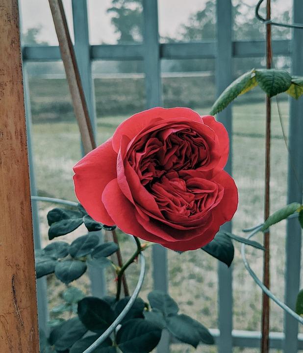 Flower, Rose, Botany, Bloom, Blossom, Petals