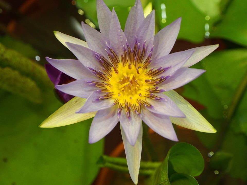 Lotus, Bloom, Pink And Purple