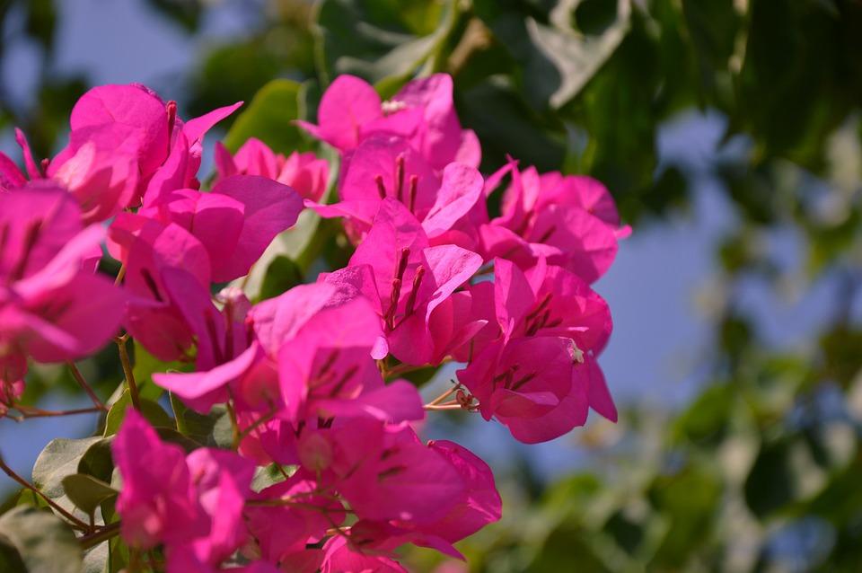 Blossom, Bloom, Bougainvillea, Flower, Pink