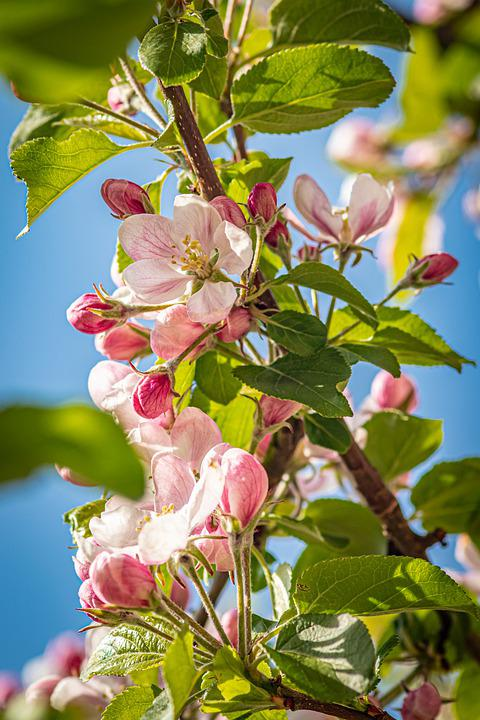 Apple Blossoms, Flowers, Pink Flowers, Blossom, Bloom