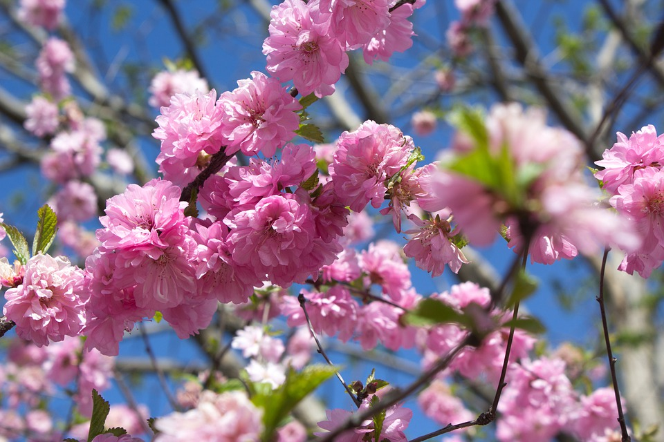 Sakura, Bloom, Pink Flowers, Japanese Apple, Spring