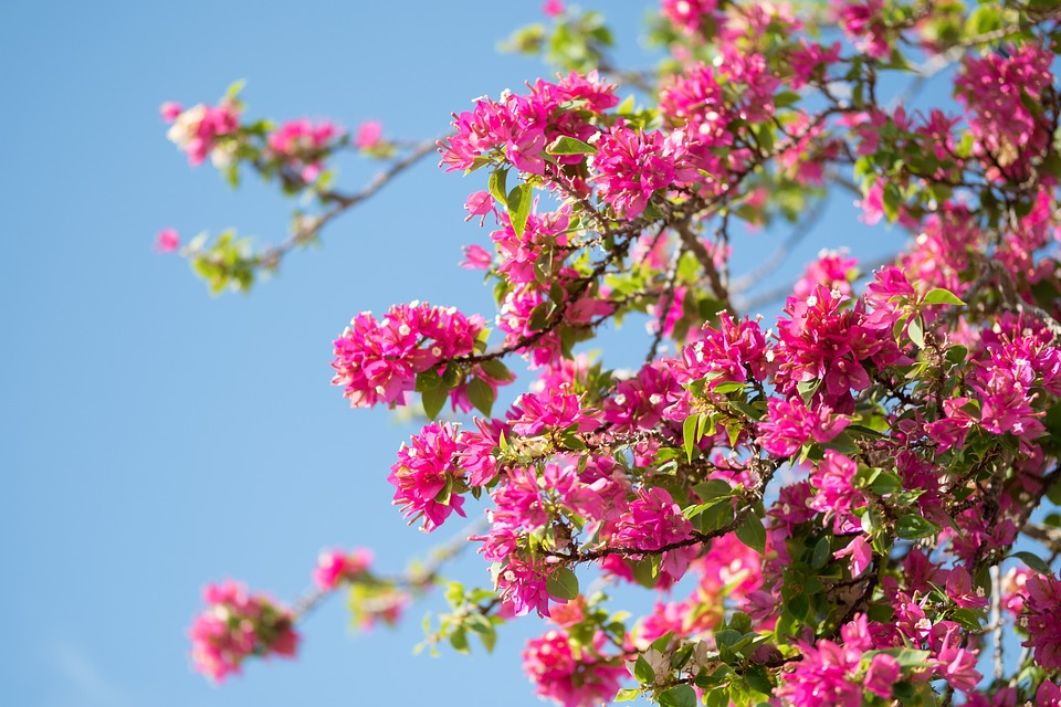 Pink, Flower, Bush, Shrub, Nature, Blossom, Bloom