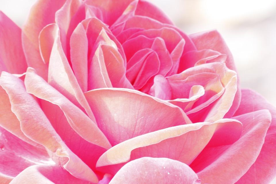 Rose, Flower, Blossom, Bloom, Pink, Garden, Summer
