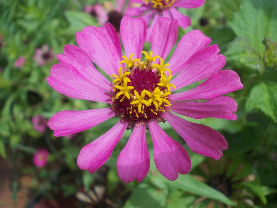 Zinnia, Pink, Purple, Violet, Flower, Tropical, Bloom