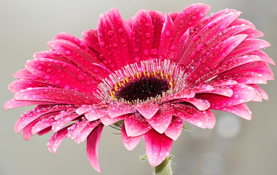 Flower, Pink, Beauty, Bloom, Daisy, Red, Fresh, Water