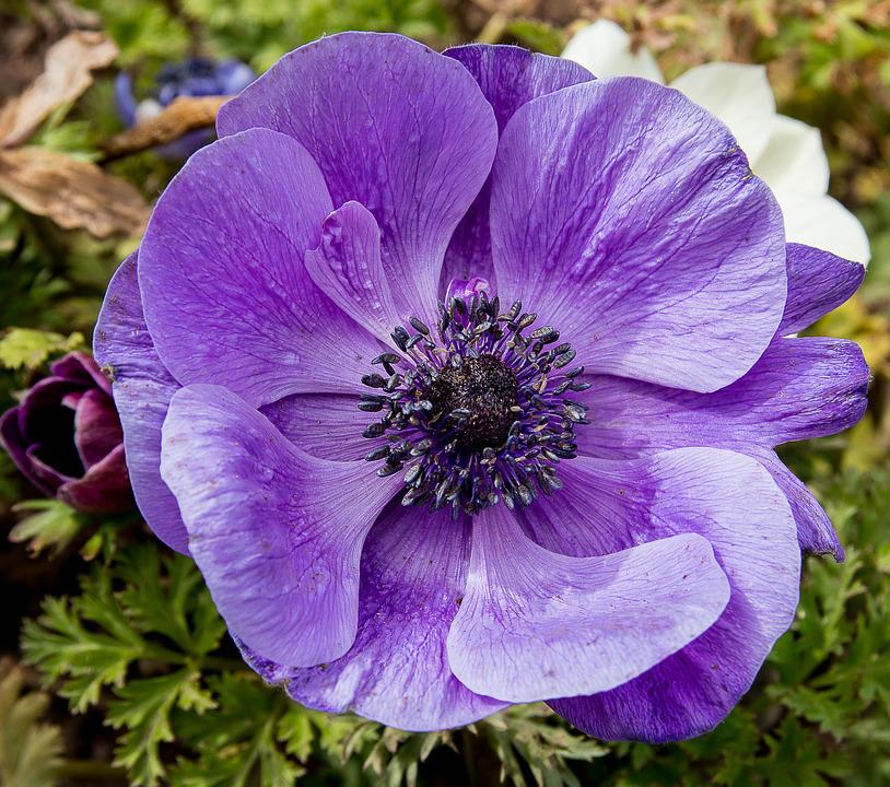 Anemone, Flower, Plant, Blossom, Bloom