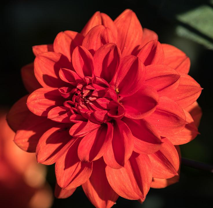 Dahlia, Blossom, Bloom, Flower, Plant, Ornamental Plant