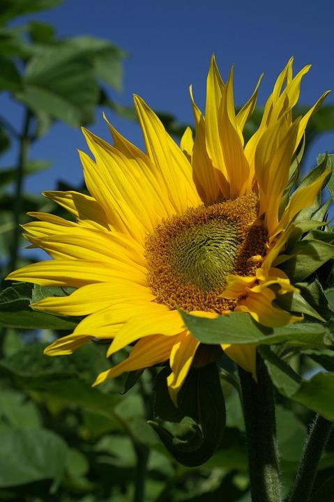 Summer, Sunflower, Plant, Blue, Flower, Blossom, Bloom