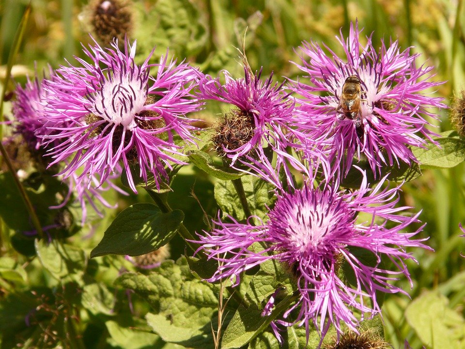 Meadow Knapweed, Flower, Blossom, Bloom, Plant, Pink