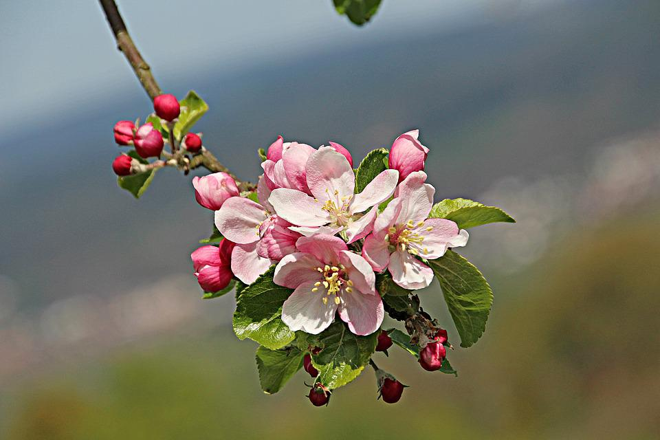 Flowers, Flora, Apple Blossom, Plant, Nature, Bloom