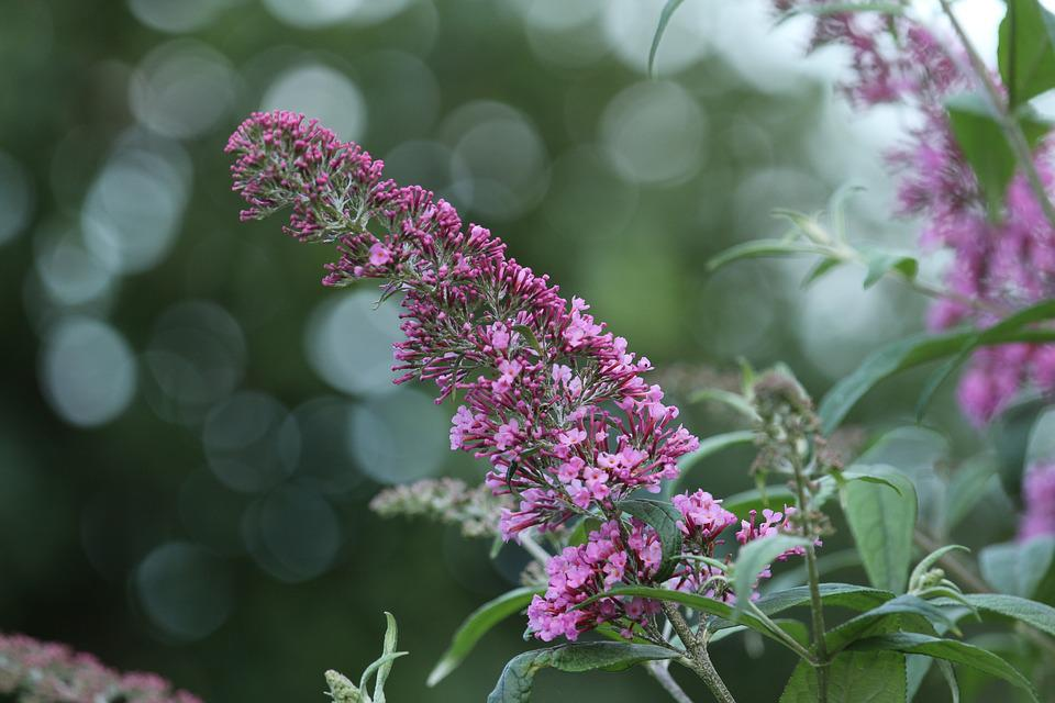 Lilac, Purple, Plant, Bloom, Ornamental Shrub, Macro