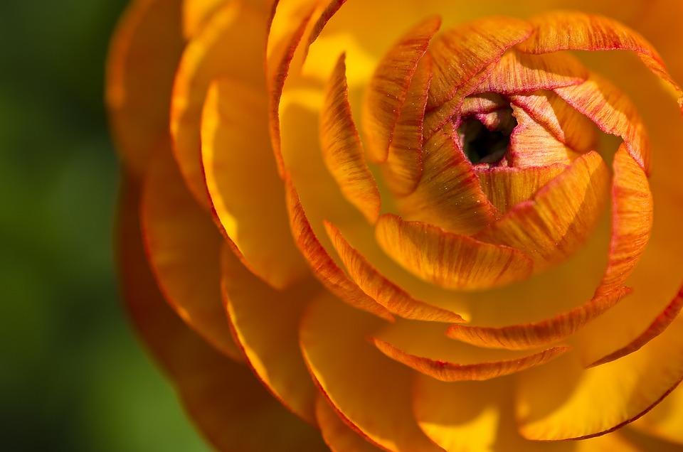 Ranunculus, Flower, Blossom, Bloom, Close, Bloom, Plant