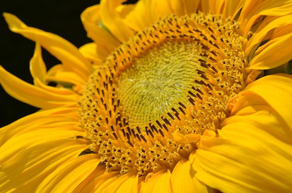 Sun Flower, Blossom, Bloom, Yellow, Plant, Bloom