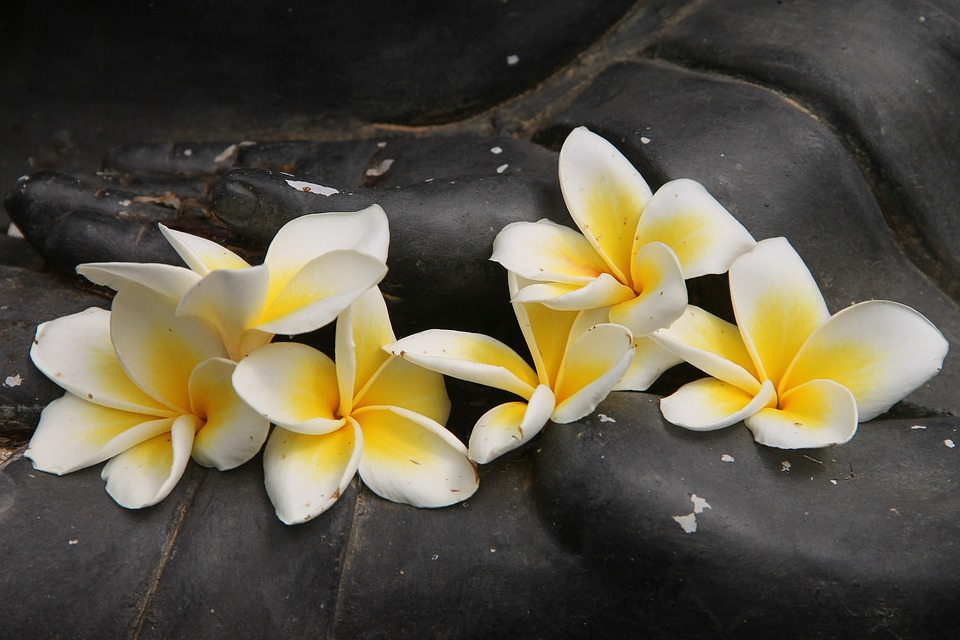 Frangipani, Plumeria, Flower, Blossom, Bloom, Exotic