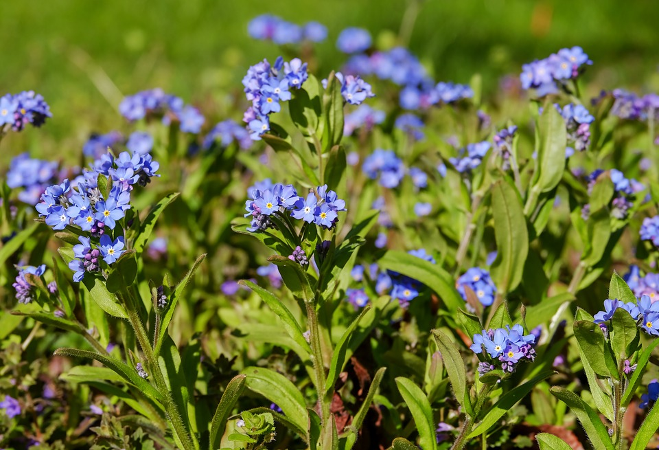 Forget Me Not, Bloom, Meadow, Pointed Flower, Blossom