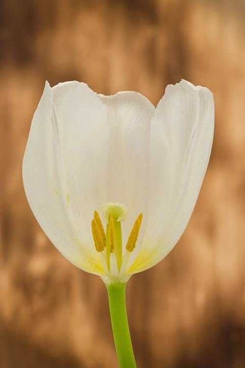 Tulip, Blossom, Bloom, Flower, Stamp, Pollen