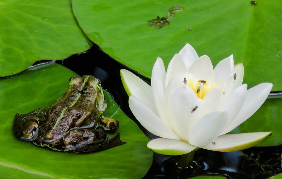Frog, Tree Frog, Water Lily, Blossom, Bloom, Leaf, Pond