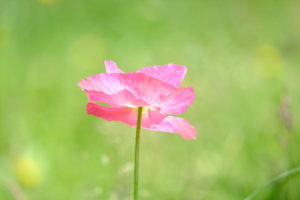 Poppy, Klatschmohn, Pink, Poppy Flower, Blossom, Bloom