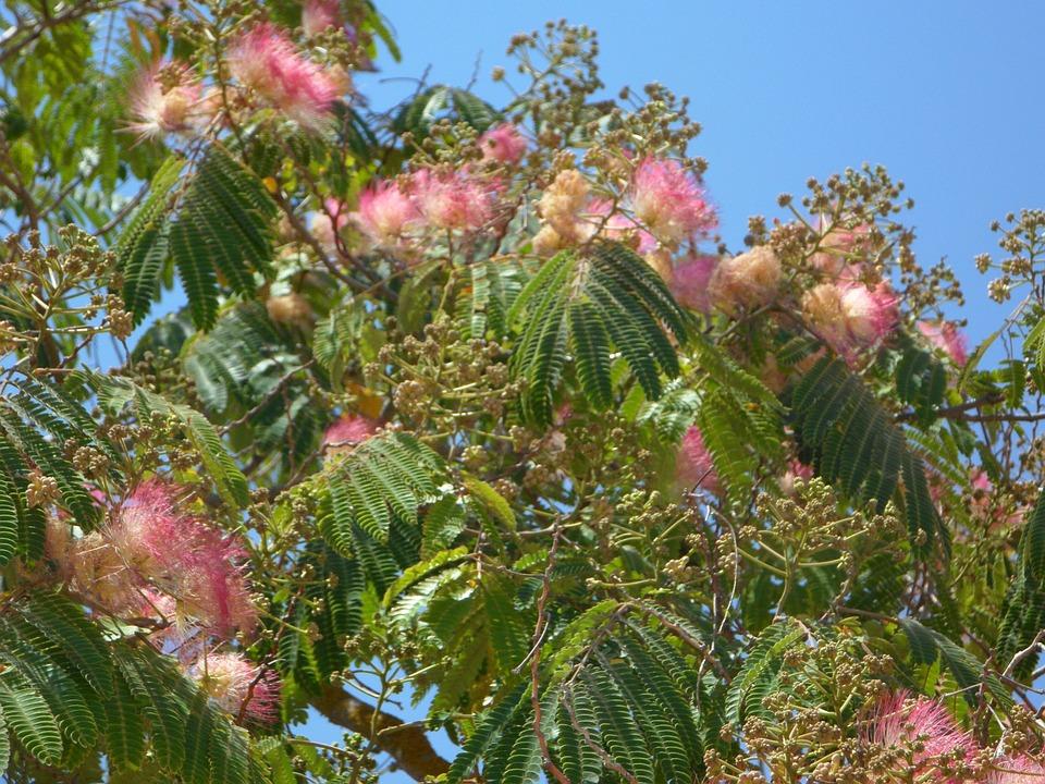 Powder Puff Shrub, Bush, Bloom, Flowers, Pink