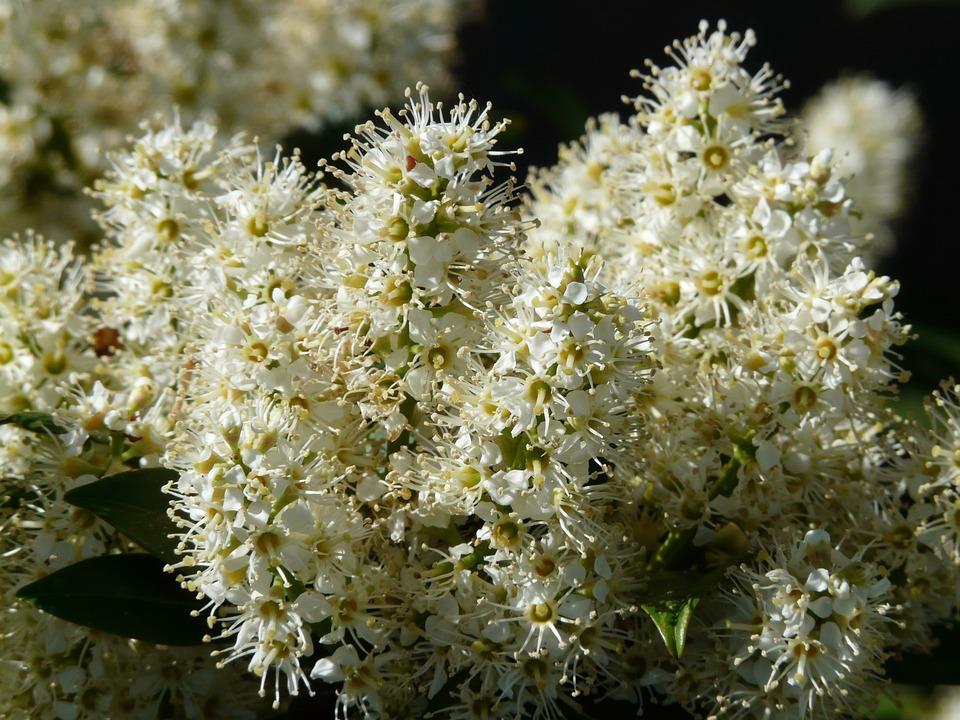 Prunus Laurocerasus, Bush, Blossom, Bloom, White, Plant